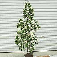 常緑ヤマボウシ(庭木の種類)