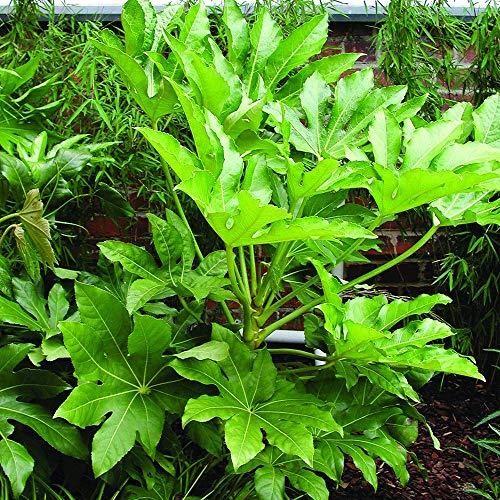 YouGarden Hardy Evergreen Fatsia Japonica Plant, 2 Litre Pot