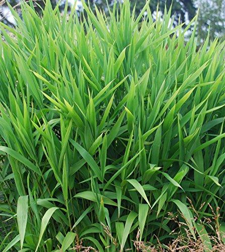 Chasmanthium latifolium 1 Liter (Ziergras/Gräser/Stauden) Plattährengras