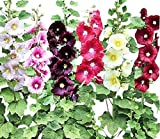 Hollyhock Single Mixed Colors - Long Blooming Period in All Zones