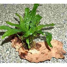 Mühlan Wasserpflanzen Wurzel bepflanzt mit Javafarn
