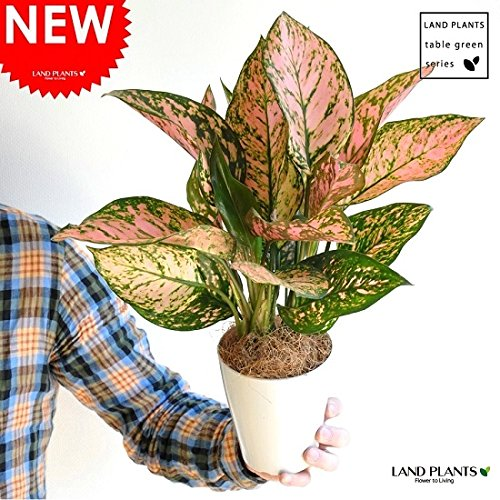 LAND PLANTS アグラオネマ・バレンタイン 4号サイズ 白色丸形プラ鉢セット