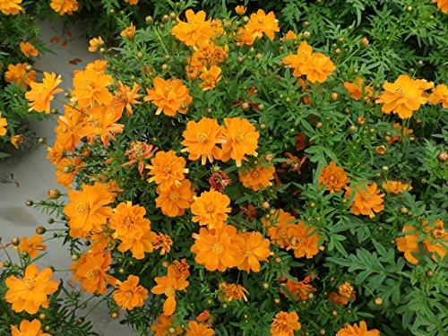 Nain orange Cosmos sulphureus Fleur 300 graines