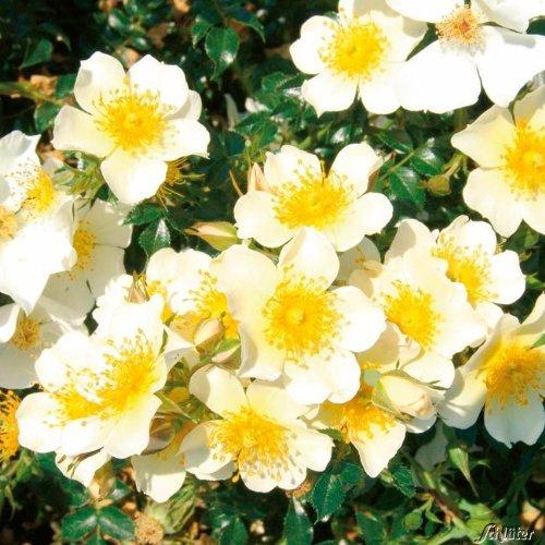 Zwergrose 'Sonnenröschen®' - ADR-Rose - 1 Pflanze