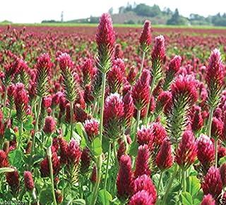 Oce180anYLV 220Pcs Aubrieta graines Linaceae fleur graines jardin violet plante au sol Decor