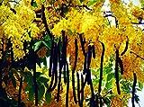 CASSIA FISTULA, gelbblühende extrem seltene Cassia Art, 10 Samen