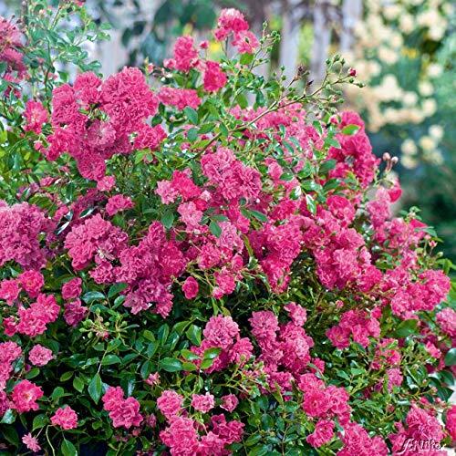 Rose Lovely Fairy- Bodendeckerrose himbeerroten Blüten - Kleinstrauchrose Pflanze Winterhart Halbschattig von Garten Schlüter - Pflanzen in Top Qualität
