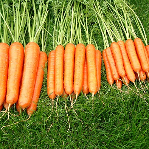 Carrot Sweet Candle - 400 Seeds