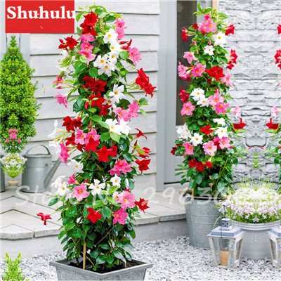 50 Pcs/sac Rare Dipladenia Sanderi Graines vivaces Escalade Mandevilla Sanderi fleurs en plein air d'ornement Bonsai Plant Garden 16