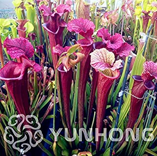 WANCHEN Real seed,Hot selling 50pcs/lot Sarracenia,Pitcher Plant seeds succulent plant bonsai plant DIY home garden