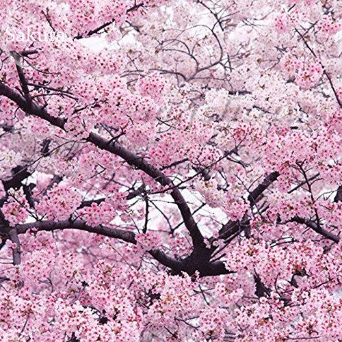 Géant japonais rose Fleur de cerisier Sakura Arbre, 20 graines, Prunus Doux Oriental Flower Seeds e3752