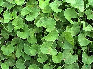100 Seeds Centella Asiatica Seeds, Indian Pennywort Gotu Kola Seeds
