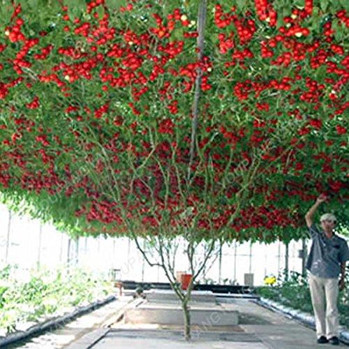 1 paquet de 100 graines / Paquet vivace tomate arbres géants serre en plein air disponibles Tomate Heirloom Seeds En Bonsai Livraison gratuite Bourgogne