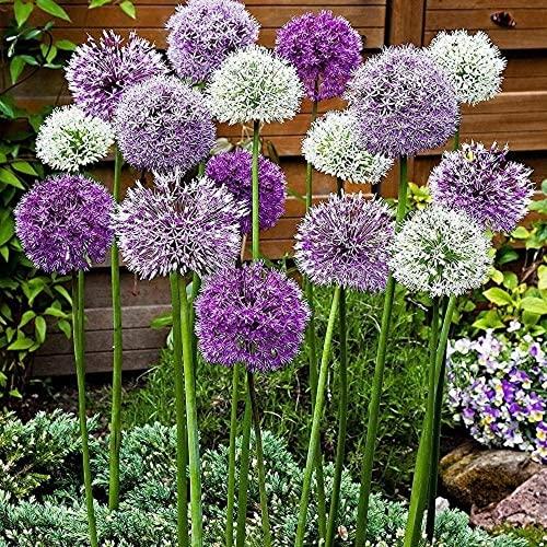6 Stück Mix Allium Zwiebeln Duft Allium giganteum Outdoor Flowers Gardens Mehrjährige Kräuter Blühende Frühlingszwiebel Zwiebel zum Pflanzen jetzt