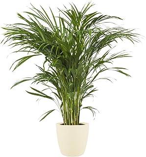 Planta de interior de Botanicly – Palma Areca en maceta