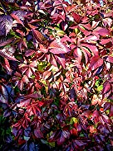 Home Comforts Parthenocissus Red Leaves Autumn Red Plant Vivid Imagery Laminated Poster Print 11 x 17