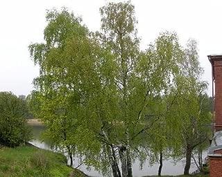 50 Silver Birch Tree Seeds, Betula Pendula, Alba