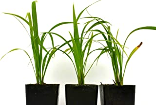 Robellini Palm Plant Pygmy Date Palm 4-6 Inch Tall 9-12 Month Old Rooted Potted (3 Plant Pack)
