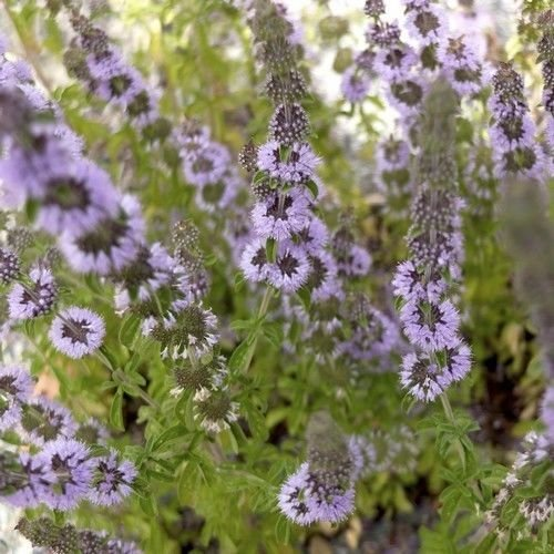 200 Semillas Semillas Creeping poleo de flores (Mentha Pulegium)