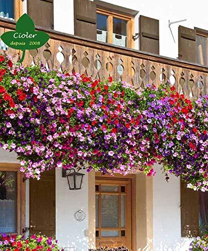 Soberbia variedad de abundante floración, que da multitud de flores de vivos y variados colores. ¡Flores increíblemente encantadoras! Las flores agradablemente hermosas de esta llamativa Petunia 'Double Pirouette' son, como su nombre indica, de doble...