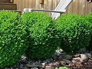 Baby Gem Dwarf Boxwood (buxus) - Live Plant - 3 Gallon Pot