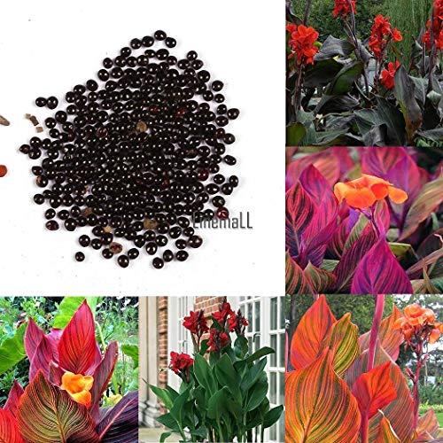 Portal Cool Violet Rouge: 50 Pcs Graines De Canna Mélanger Couleurs Bonsaï Fleur En Pot Graines Jardin Décor Lm