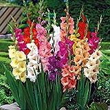 TOMASASeedhouse- 50pcs mezcla de gladiolo gigante, loro de jardín Mezcla de gladiolo de cebolla Flores de gladiolo Semillas flores perennes resistentes para balcón, jardín
