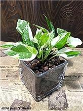ポトスエンジョイ ハイドロカルチャー 観葉植物 ポトス インテリア 北欧 おしゃれ ギフト お祝い モダンスクエアグラス