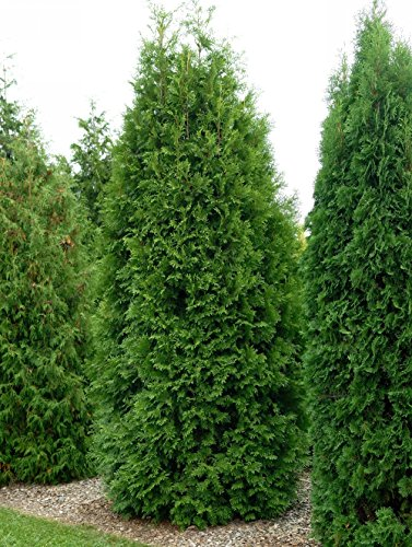 Thuja Brabant Occidentalis - Lebensbaum winterhart & pflegeleicht - Thujen-Hecke als Sichtschutz - Heckenpflanze 30-40cm - 1 Pflanze im Container von Garten Schlüter - Pflanzen in Top Qualität