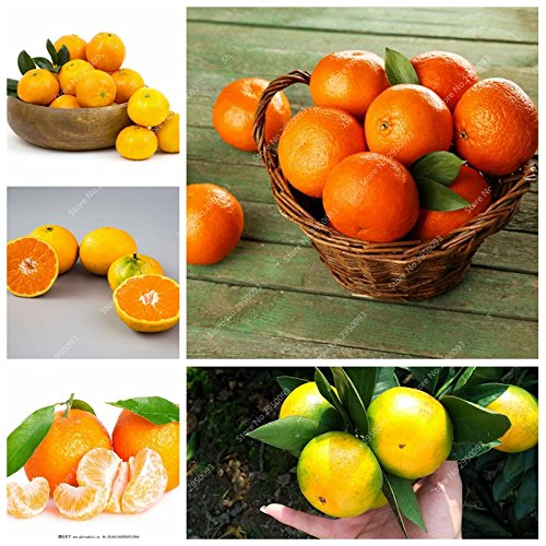 20pcs/sac d'escalade Graines d'Orange Mini-NO comestible OGM Bonsai Fruit Kumquat Mandarine en pot Plantons pour décor de jardin