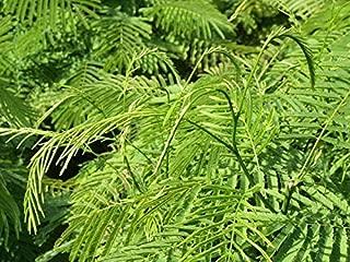 Seeds Package: Best Pr Pennata Cha-Om Seeds Vegetable Heirloom 20 Seeds