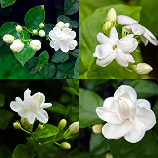 Luxsea 100pcs Jasmine Seeds Non-GMO Seeds White Aromatic Flower Seeds Fresh Plant Seed Elegant Naturally Grown Floral Plants Seeds for Planting Indoors or Outdoor