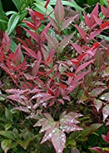 Southern Living Plant Collection 2.5 Qt - Obsession Nandina Shrub Plant, Quart, Color-Changing Evergreen