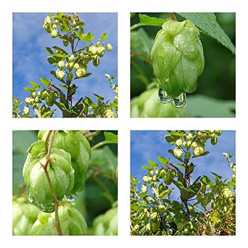 Humulus lupulus -Echter Brauhopfen - 50 Samen -Kletterpflanze