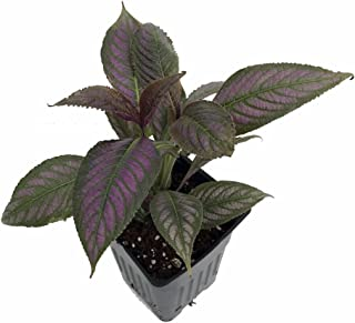 persian shield plant size