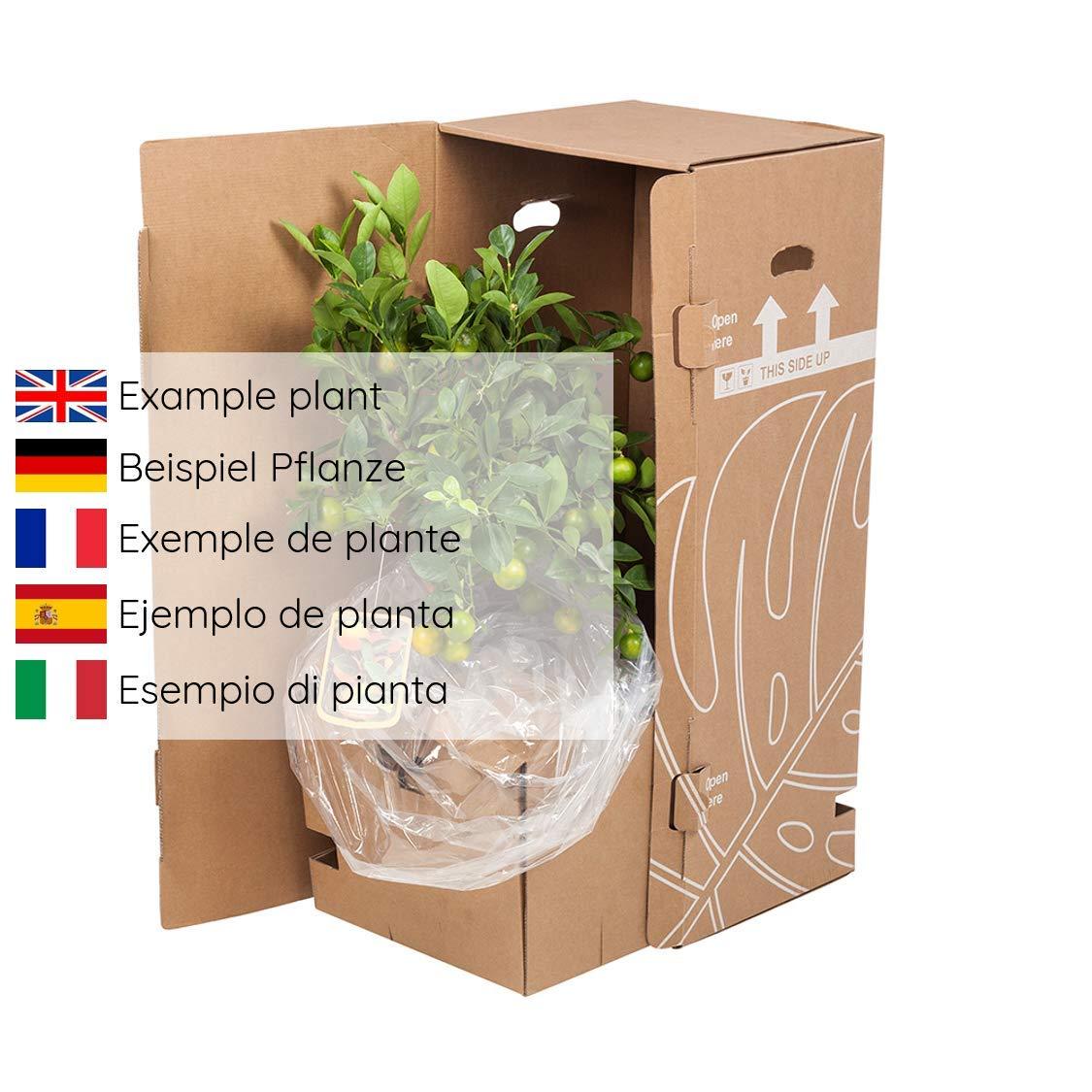 Vides de Botanicly – 4 × Clematis olympia – Altura: 70 cm: Amazon.es: Jardín