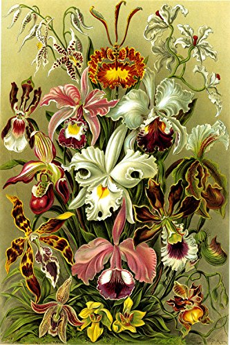 """Vintage Posters Ernst Haeckel's Orchid Flowers (Orchidae) - Biological Illustration Poster Reproduction (24"""" x 36"""")"""