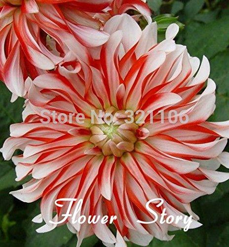 Graines 100Dahlia -Santa Claus Dahlia (Santa Claus Dinner Plate), jardin des plantes de bricolage, fleurs décoratives, Livraison gratuite