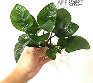 Java Moss on Slate Rock Stone Taxiphyllum Barbieri APF Aquarium Plants Factory