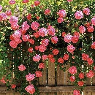Trenton 100 Pcs Climbing Rose Seeds Garden Home Balcony Fences Decor Plants Flowers - Pink