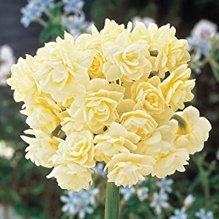 Spring Cheer Daffodil Spring Flowering Bulbs - A perfumed Bouquet of Beauty on a Single stem! 5 Bulbs Measuring 13+ cm per Order