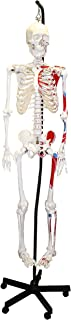 """Vision Scientific VAS200H Medical Grade Hanging Life Size Human Skeleton-66"""" (168cm) with Muscle   Wired for Natural Movement, Comes with Hanging Stand, Roller Base   Instruction Manual"""