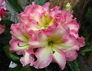 melrose flash rhododendron