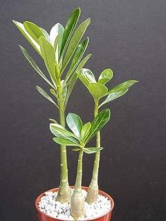 3 ADENIUM OBESUM Rare Caudex Desert Rose 4