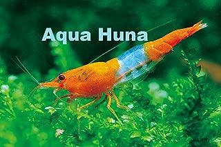 Orange Rili Shrimp - Aquarium Shrimp 6 Pack