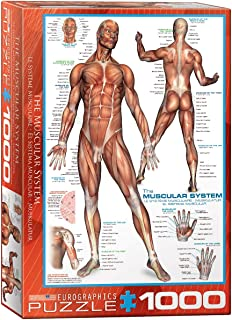 Best muscular system puzzle Reviews