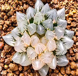 200pcs Rare Crystal Clear Beauty Succulents Seeds Easy to Grow Potted Ornamental Plant for Home Garden Courtyard