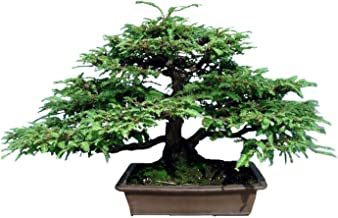 California Coast Redwood Giant Tree 20 Pack Seeds - Sequoia Sempervirens Bonsai Tree, Coastal Redwood Exotic Ancient Giants Trees, Long Lived Evergreen Plants