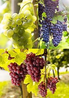 3er Set Weintrauben Pflanzen rosa   hell   blau   Weinreben winterhart