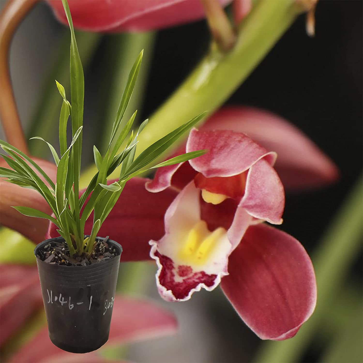 Live Indefinitely Orchid Plants Ranking TOP18 Blooming Indoor Easy Care Size